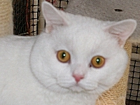 White British Shorthair